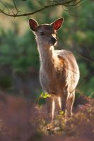 Sika by JakeSpain