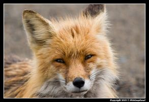Yukon red fox by Hiddenplanet