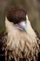 8086 - Crested Caracara by Jay-Co