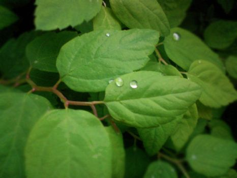 Drops on the Leaves by Qtinka