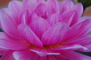 pink petals 3 by MessiMutt