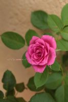 Little pink rose by Khrys90