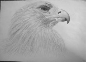 eagle by mucsucsula