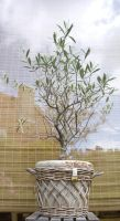 Olive tree by A-mieke