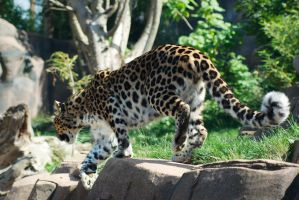 Leopard 20120905-1 by FurLined