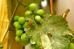 Grapes by isoscelesrectangle