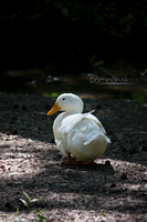 Goose by IDR-DoMiNo