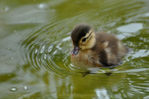 Aix galericulata (003) - duckling by Sikaris