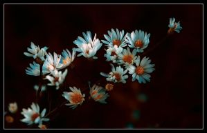 Autumn Daisies by aquapell