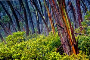 Alpine Gum Woodland II by FuriousEnnui
