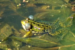 Froggy Session 13 by steppelandstock