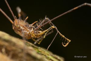 Spiky Harvestman by melvynyeo