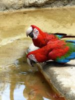 Thirsty parrots by arya22