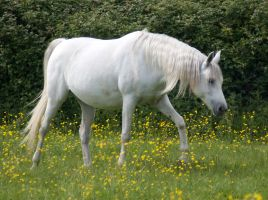 white arab horse by LubelleCreativeSpark