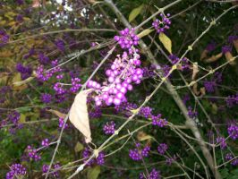 Purple Berries- Overexposed. by cowgirlscholar