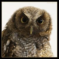 Little Owl 3 by Globaludodesign