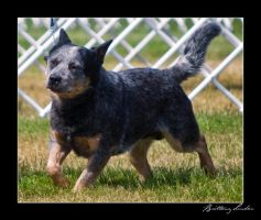 Australian Cattle Dog by StrictlyCanine-SI