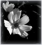 White Cosmos - BW by JocelyneR