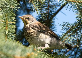Young fieldfare by starykocur