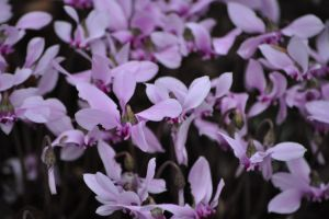 Cyclomen everywhere by snoogaloo