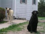 Standing and Sitting Dogs by supaslimstock