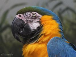 Blue and Gold Macaw 737 by caybeach