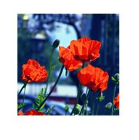 Garden poppies by Iridescent-happinesS