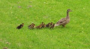 Baby Ducks 2 by PatriciaRodelaArtist