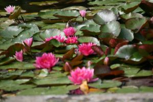 waterlilies closer by ingeline-art
