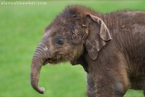 Elephant by Alannah-Hawker
