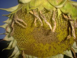 Dead Sunflower by neeta-stock