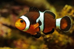 Clownfish by FlorianHebel