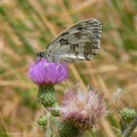 Marbled white by Jorapache