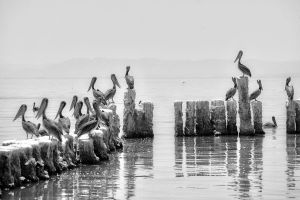 Pelicans Salton Sea by myoung4828