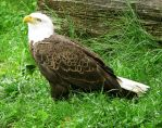 Bald Eagle Stock 1 by HOTNStock