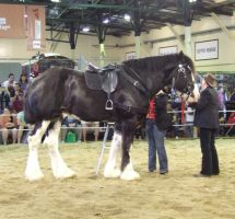 Shire Horse - 020 by EasternBrumbyStock