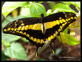 Giant Swallowtail So Yellow by Mogrianne