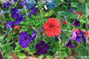 A PLETHORA OF PETUNIAS by Artographs