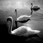 Swan Perspective Revisit by Coigach