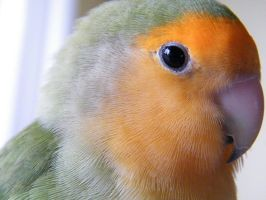 Kiwi the Lovebird by Etsumi-chan-san