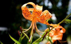 Tiger Lily by NorthBlue