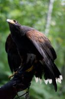 Harris Hawk - Eve by Dygee