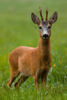 Summer roe deer by JMrocek