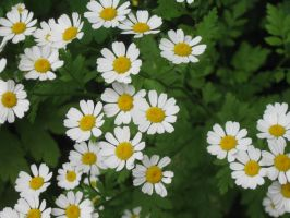 031 little daisies by crazygardener