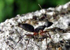 BLACK ANT by kumarvijay1708