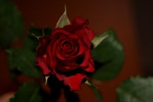 Red Rose 3 by gaothaire