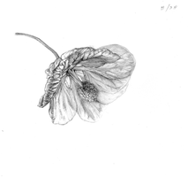Abutilon sketch 2 by ChristieNewman