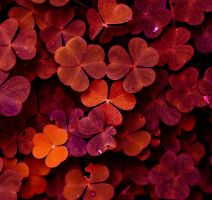 red clovers by thunderstorm1991