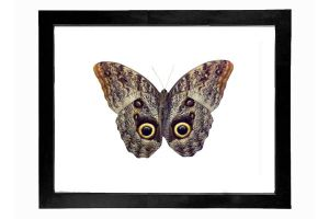Real Owl Butterfly Display by TheButterflyBabe
