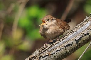 house wren by griffspixs